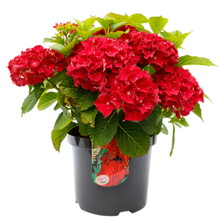 Macrophylla Rood C5 (2).png