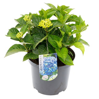 Macrophylla Blauw (1).png
