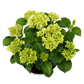 Macrophylla Wit (4).png