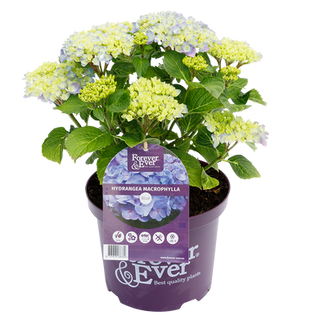 Forever & Ever Macrophylla Blauw (1).png