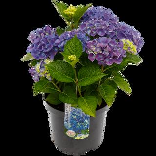 Macrophylla Blauw C5 (1).png