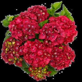Macrophylla Paars C5 (3).png