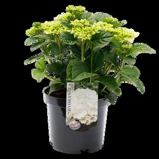 Macrophylla Wit (2).png
