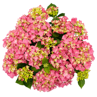 Forever _ Ever Macr. Roze (3).png