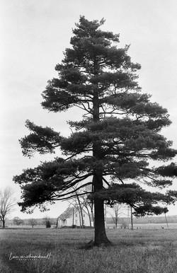 À l'ombre du grand pin