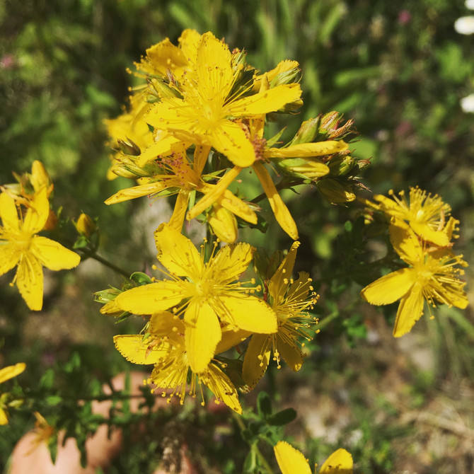 St. John's Wort: Summer Light