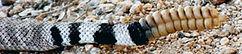 diamondback rattle snake tail.JPG