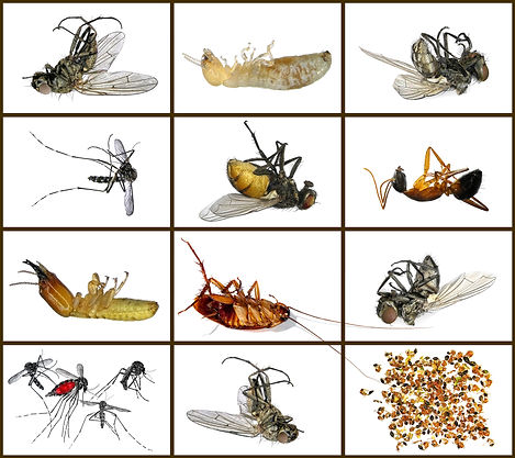 Dead housing pests. Insects - parasites