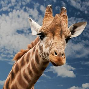 La Girafe : lien entre Ciel et Terre