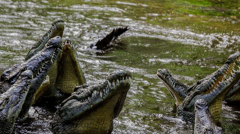 Les Alligators et crocodiles symbolisme