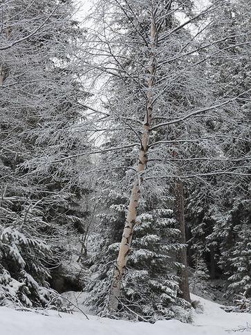 Bouleau sous la neige