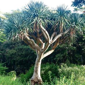 Le Banksia