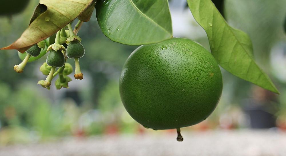 Citrus_maxima_'Tahitian'_-_Lyman_Plant_House,_Smith_College