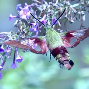 Le Sphinx (papillon)