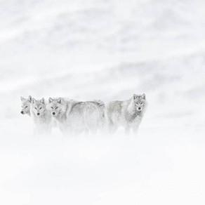 A la rencontre du loup blanc