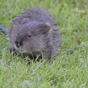 Le Rat musqué