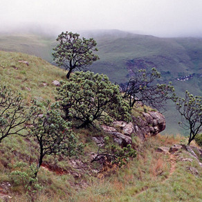Le Protée (arbre)