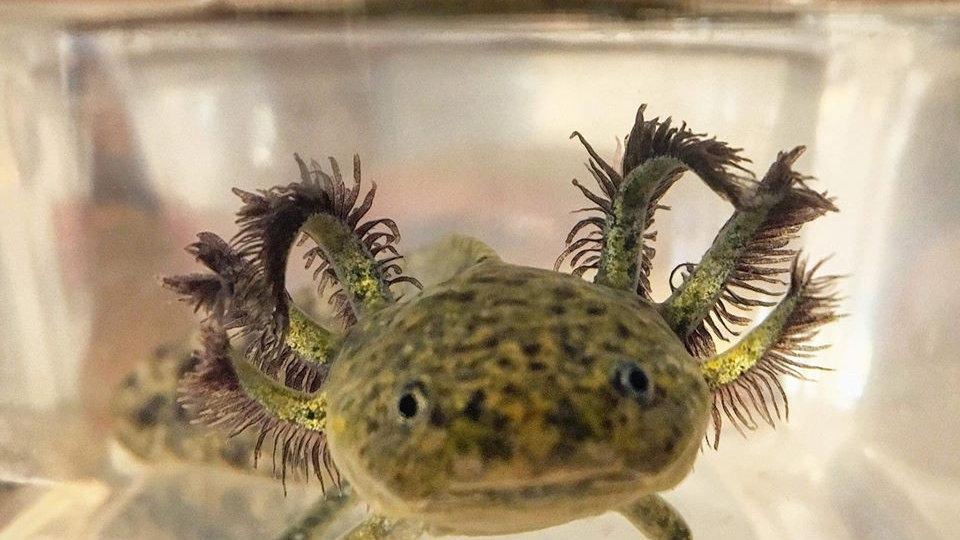 Wild morph Juvenile Axolotl