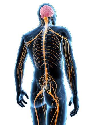 Chiropractic care, nervous system, brain based chiropractor, healing, innate, effective care, relieve pain