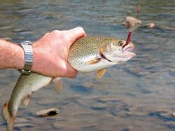Catch a Trout