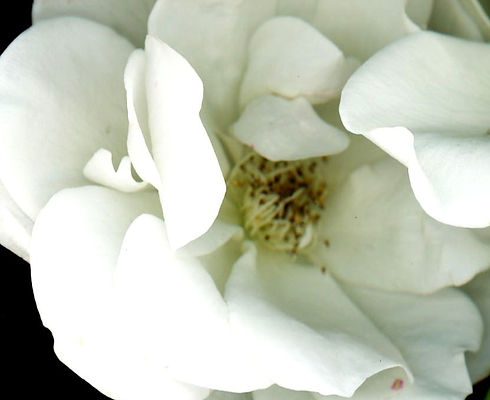 whiterose_edited_edited_edited_edited.jp