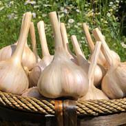 German Hardy Garlic