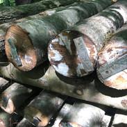 Inoculated Shiitake Logs