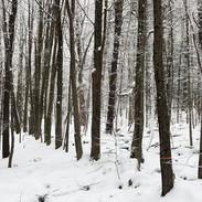 Snowy Sugarbush
