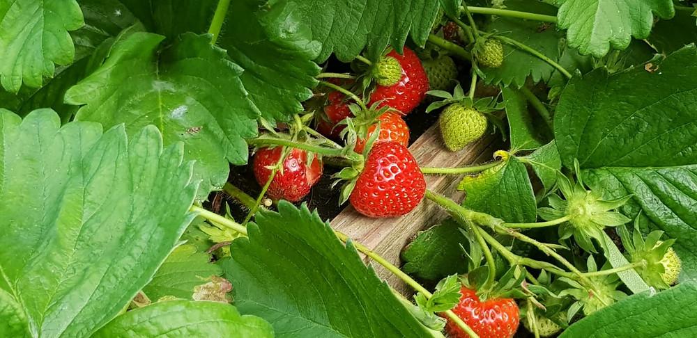 strawberry picking berkshire