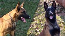Dois novos cães de detecção vão reforçar a fiscalização agropecuária em portos, aeroportos e frontei
