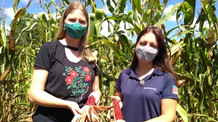 Projeto promove multiplicação e distribuição de sementes de milho crioulo para agricultores familiar