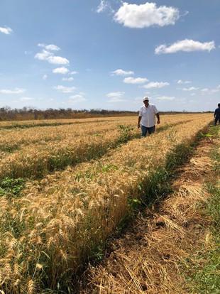 Ceará planta trigo pela primeira vez e colheita surpreende