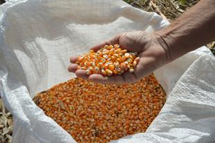 Mapa e Ministério da Economia definem volume de compra de milho para o Programa de Venda em Balcão