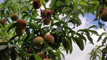 Pêssegos com tecnologia da Embrapa ganham mercados no Hemisfério Norte