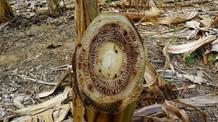 Mapa alerta para reforço no monitoramento da praga Foc R4T, que ataca produção de bananas