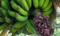 Bananeira pode ser usada como remédio e adubo
