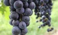Setor espera colher bons frutos nesta safra de uva
