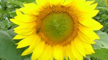Segue colheita do Girassol que atinge 75% da área cultivada