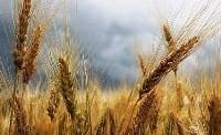 Trigo está em desenvolvimento vegetativo no RS