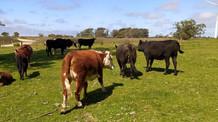 Agricultura e Polícia Civil apreendem 21 bovinos em Santa Vitória do Palmar