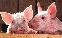 Edições de genes de suínos estão chegando nos EUA