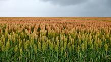 Novos zoneamentos do sorgo granífero e do milheto orientam produção agrícola