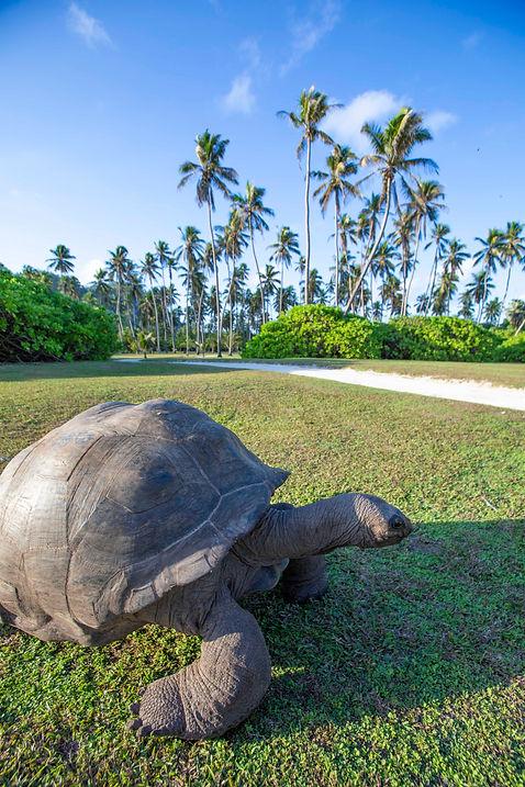 Giant Aldabra Tortoise on the Island Plateau