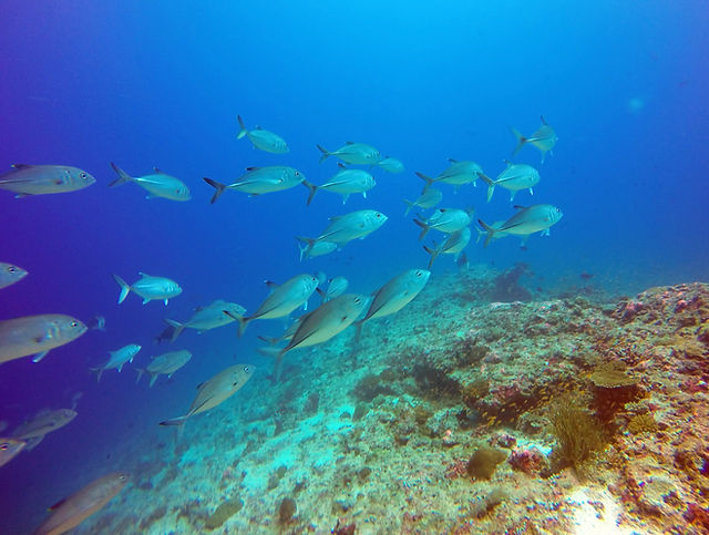 School of Jack Fish - Diving with Vommuli Dive Centre