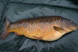 Plated mirror carp