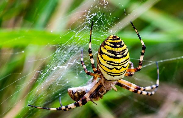 Wasp spider 1.jpg