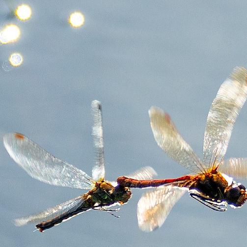 Dragonflies united