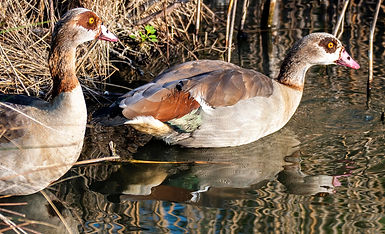 Egyptian Geese 4 small.jpg