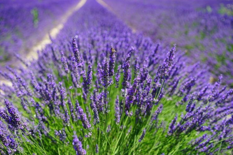 French Lavender Fragrance 100ml
