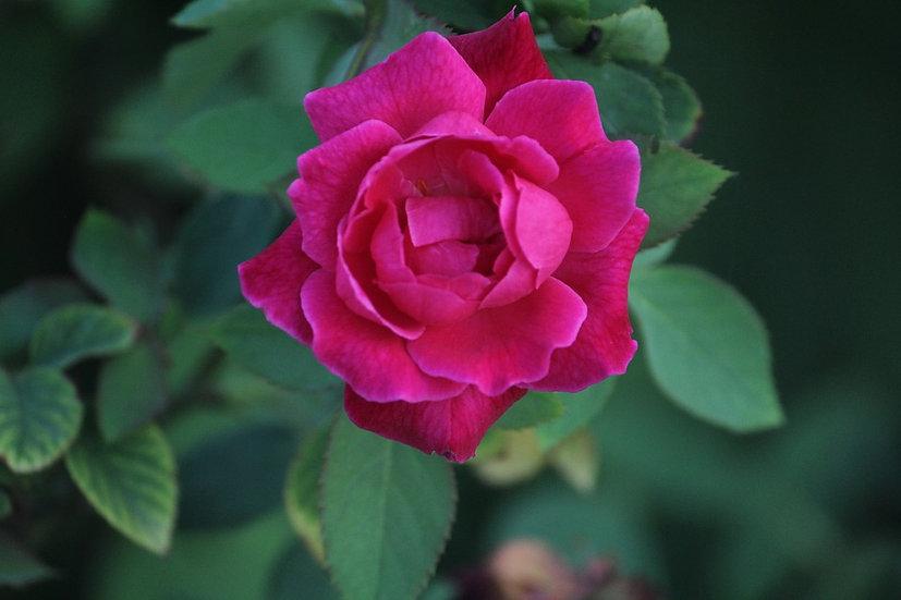 Indian Rose Fragrance 100ml